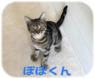 松戸市 アメリカンショートヘアの飼い主様の声
