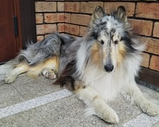 クロムくん 松戸市 犬のペットシッター