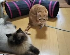 チャチャ坊くん達 松戸市 猫のペットシッター