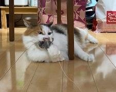 ミケちゃん ウニくん 松戸市 猫のペットシッター