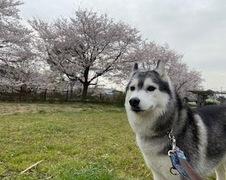あおいちゃん 松戸市 犬のペットシッター