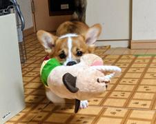 エマちゃん 松戸市 犬のペットシッター