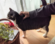 チョコくん 流山市 猫のペットシッター