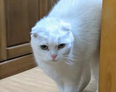 ローレライちゃん 松戸市 猫のペットシッター