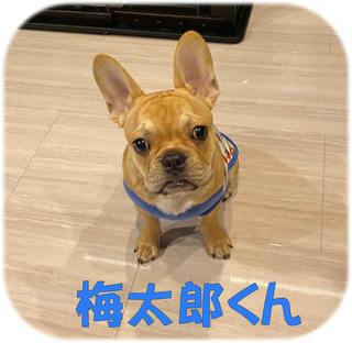 松戸市 フレンチブルドッグの飼い主様の声