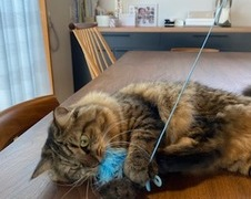 ギンちゃん タラちゃん 流山市 猫のペットシッター